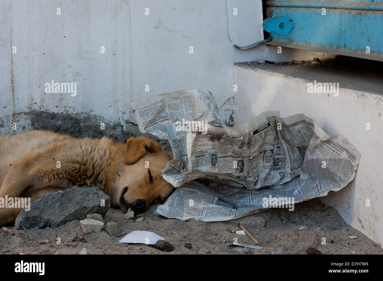 A cute stray dog sleeps with its head on some newspaper. - Stock Image
