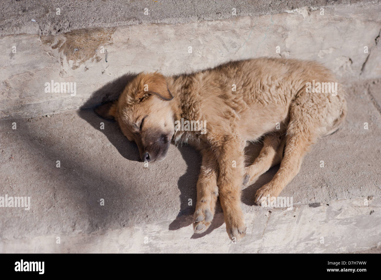 A small, stray puppy dog sleeps on the street in the sunshine. - Stock Image
