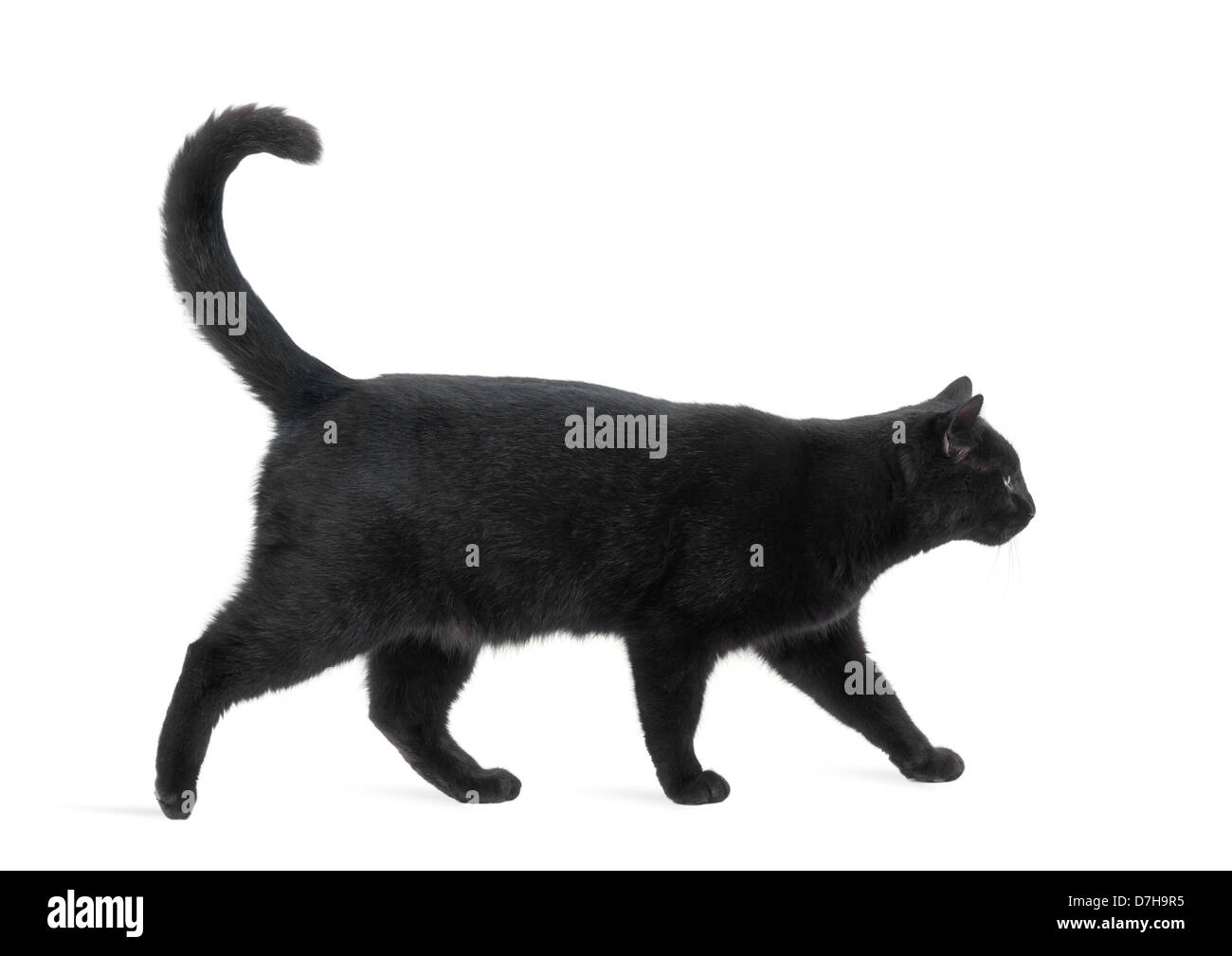 Side view of a Black Cat walking against white background - Stock Image