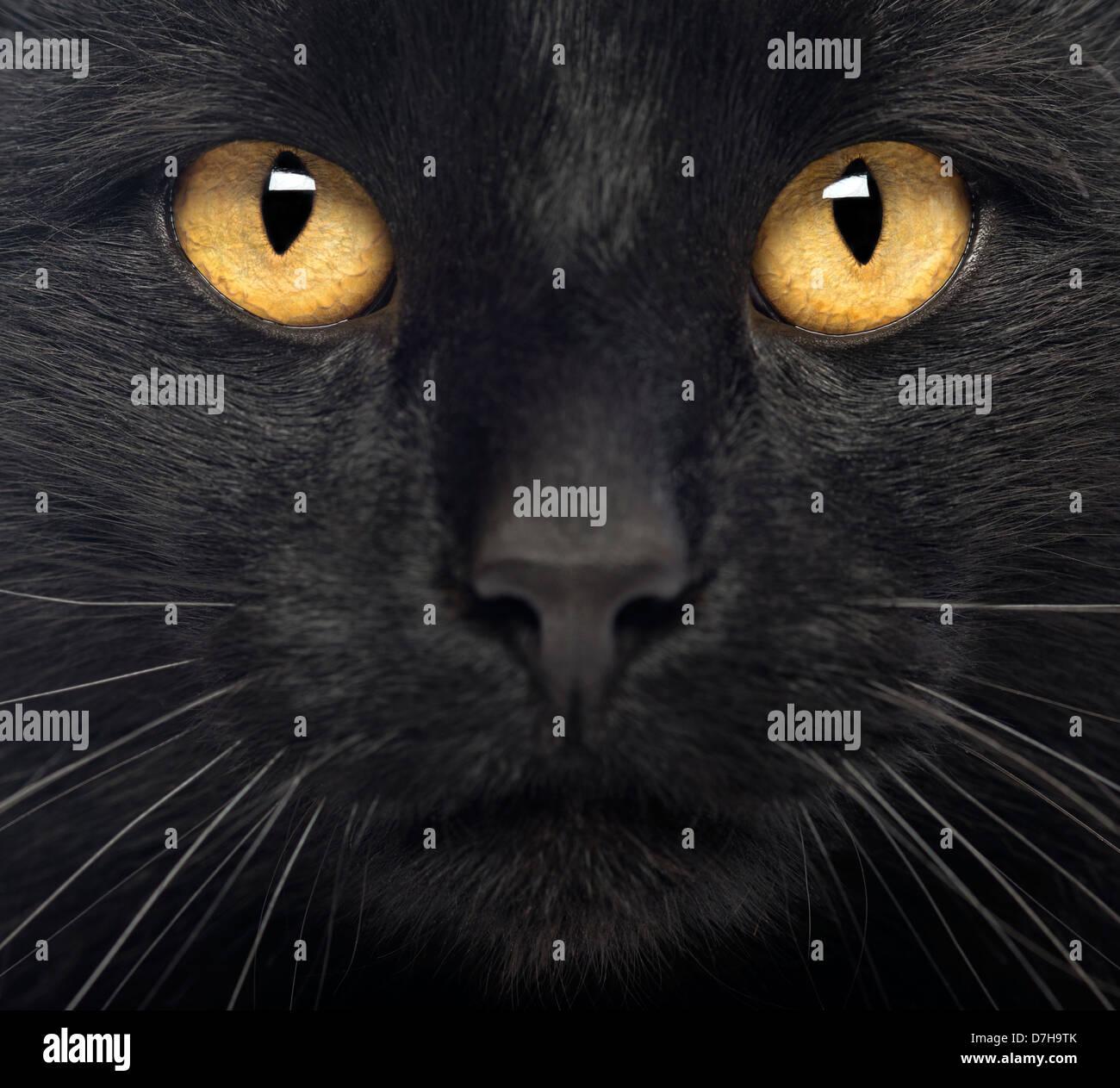 Close-up of a Black Cat looking at camera - Stock Image