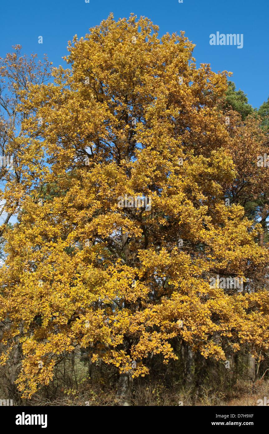 Pendulate Oak English Oak Quercus Robur Tree In Autumn Stock