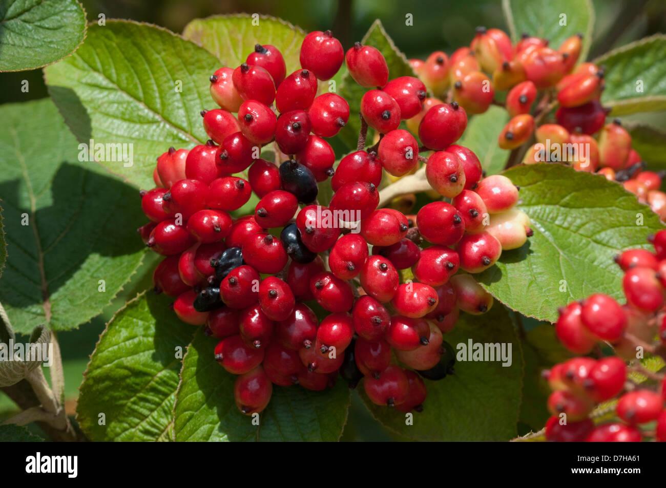 Wayfaring Tree, Hoarwithy, Twistwood, Meal Tree (Viburnum lantana), unripe berries on a twig Stock Photo