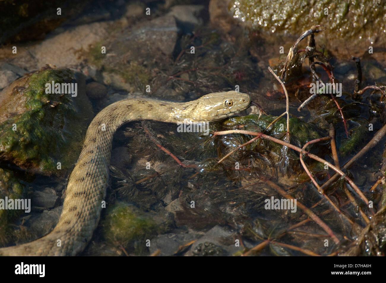 Dice Snake (Natrix tessellata) foraging among aquatic plants - Stock Image