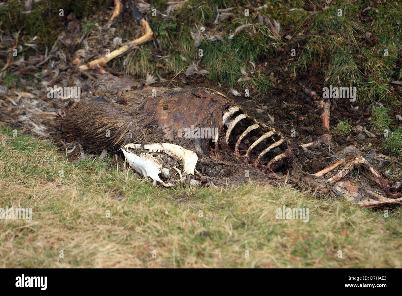 Decaying carcase of a red deer knocked down and killed by a car on the Isle of Mull in Scotland. 7000 deer are killed - Stock Image