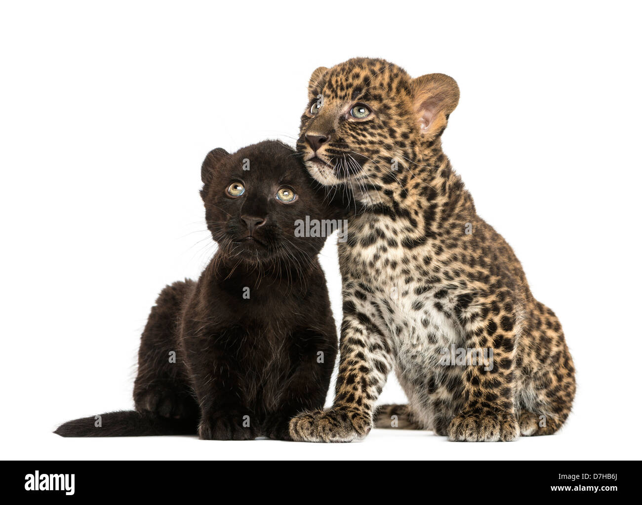 Black and Spotted Leopard cubs sitting next to each other against white background - Stock Image