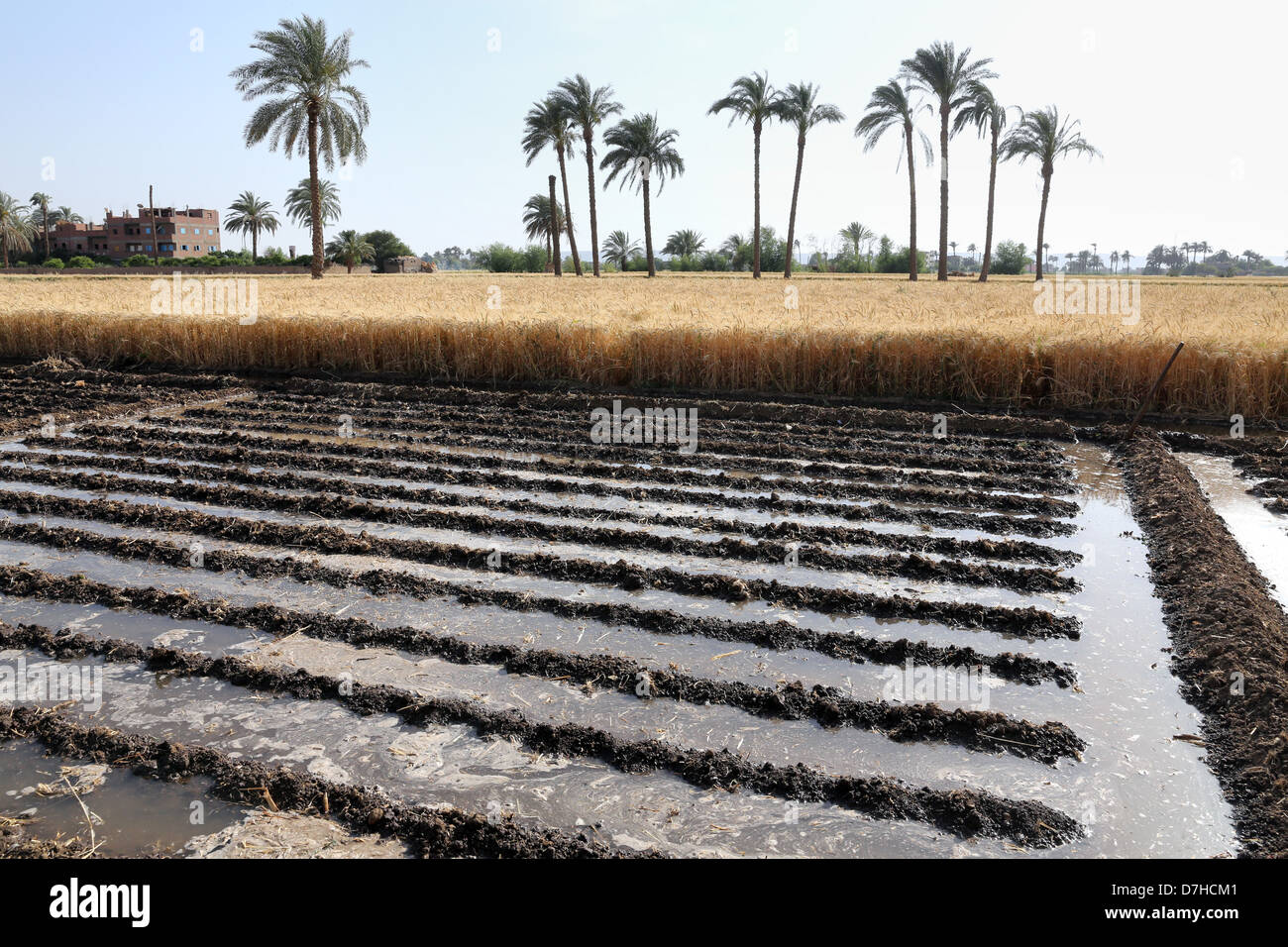 irrigation channel crops wheat field in Upper Egypt - Stock Image