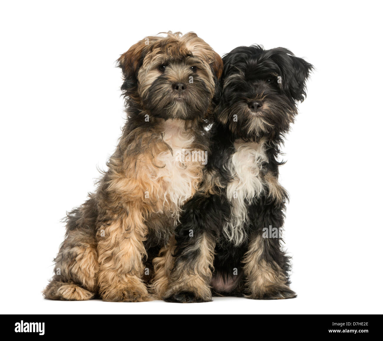 Two Tibetan Terriers, 4 months old, sitting next to each other against white background - Stock Image