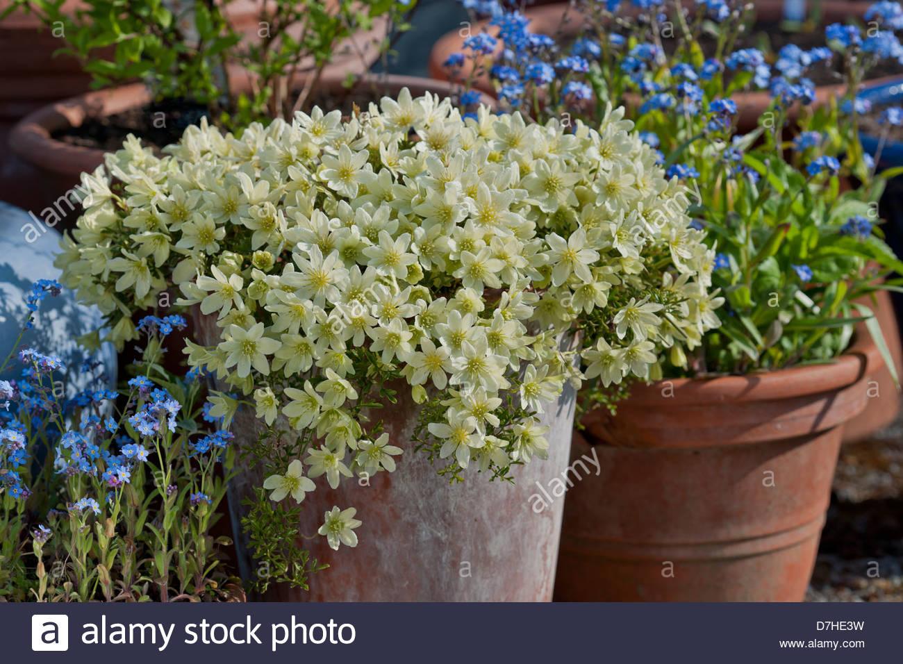 Clematis X Cartmanii Pixie Spring Flower Evergreen Scented Scent