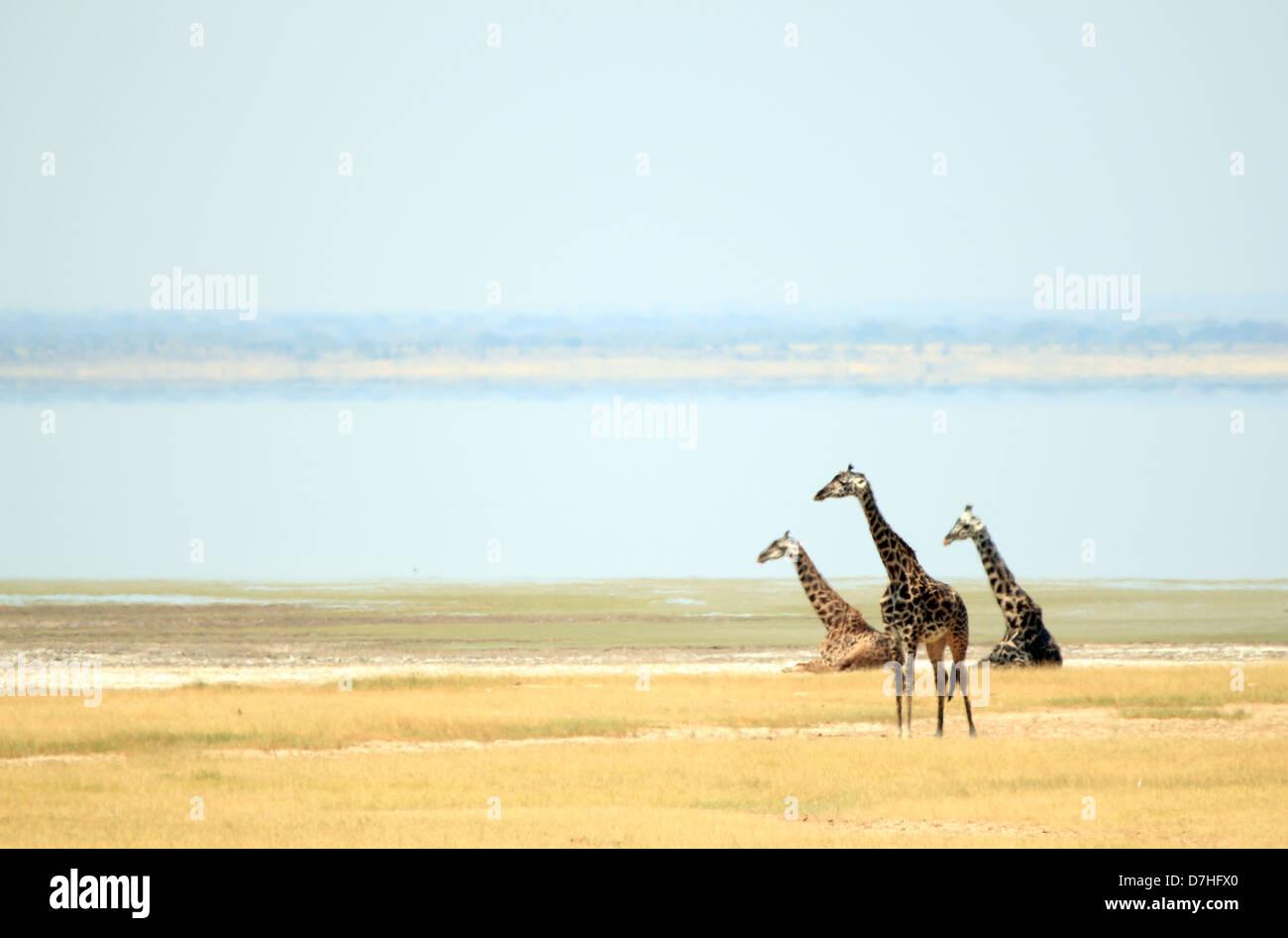 Maasai Giraffes (Giraffa Tippelskirchi) at Lake Manyara, Tanzania - Stock Image