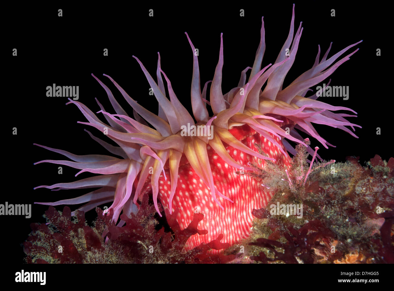 A beautiful red rose sea anemone with tentacles fully exposed - Stock Image