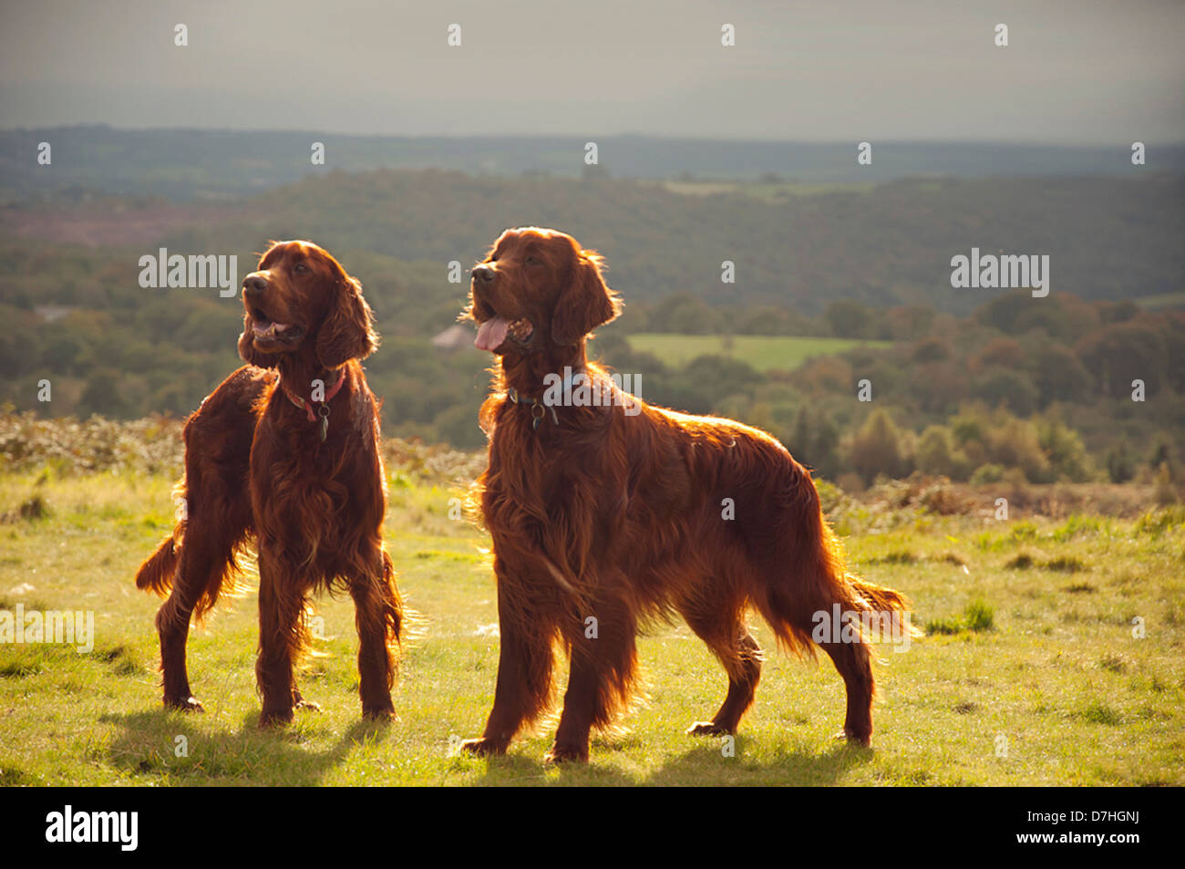 Two red setters on Caerphilly Mountain in a patch of golden sunlight, with dark clouds in the distance. - Stock Image