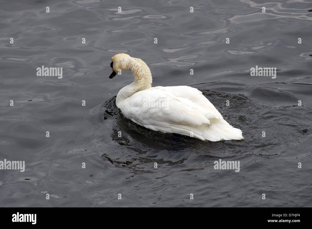 White swan in early spring on River Moldau. - Stock Image