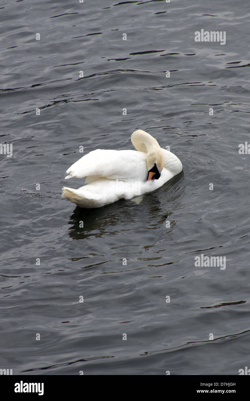 A white Swan on Moldau River, in the early spring with it's beak under one wing. - Stock Image