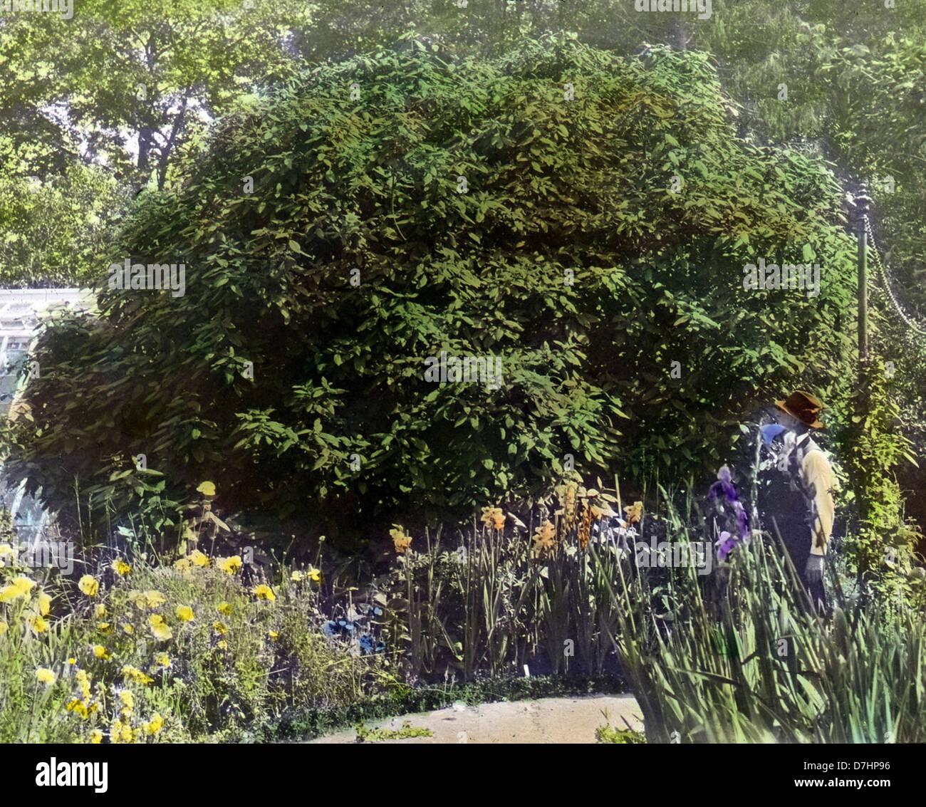 Borde Hill – viburnum rhytidophyllum - Stock Image