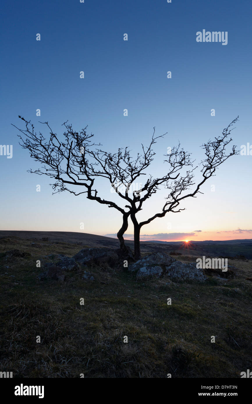 Lone Hawthorn Tree at Sunset. Combestone Tor. Dartmoor National Park. Devon. England. UK. - Stock Image