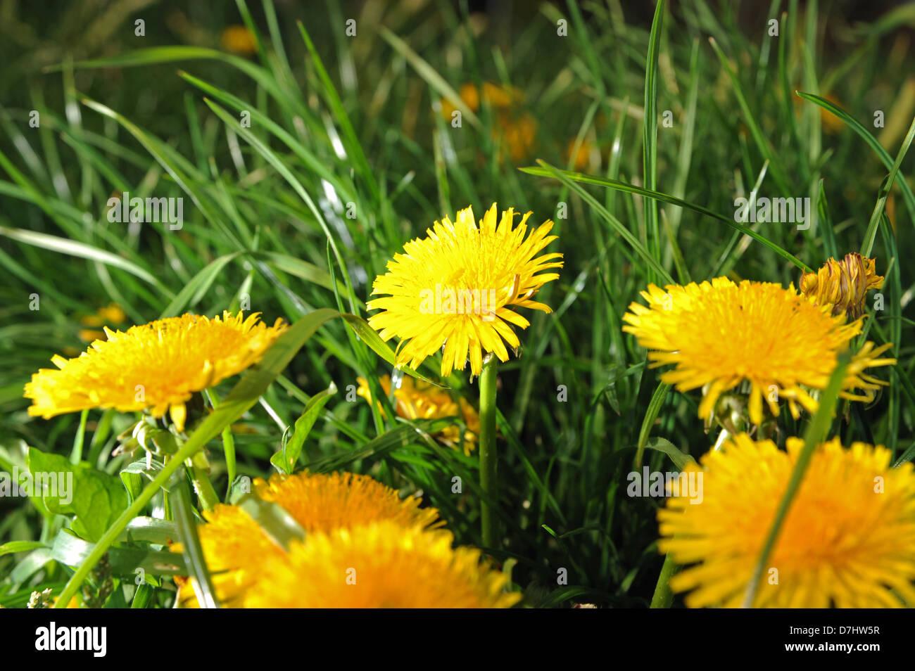Yellow weeds stock photos yellow weeds stock images page 3 alamy golden yellow dandelions flowers or weeds scientific name taraxacum genus photograph taken by simon dack mightylinksfo