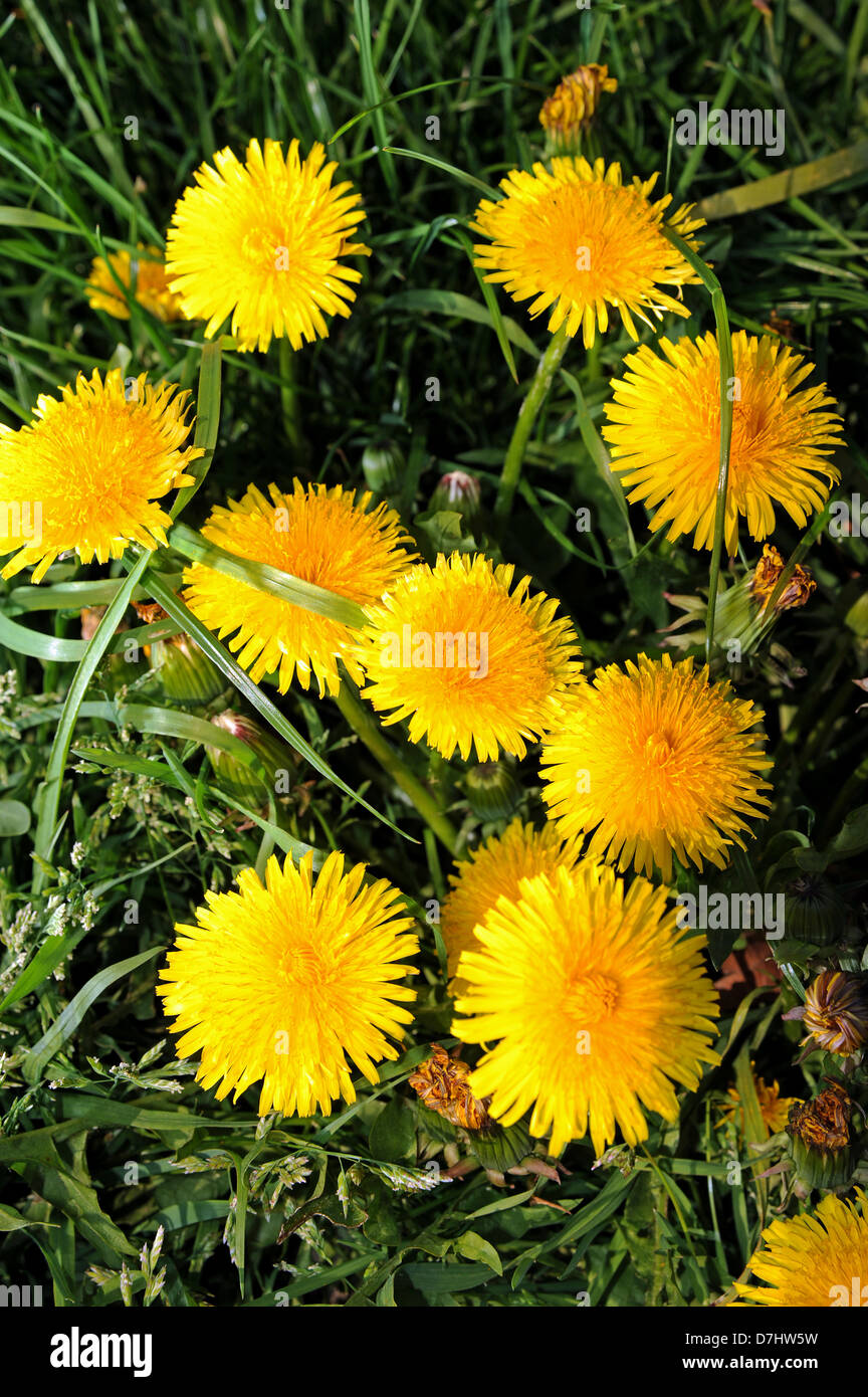 Golden yellow dandelions flowers or weeds scientific name taraxacum golden yellow dandelions flowers or weeds scientific name taraxacum genus photograph taken by simon dack mightylinksfo