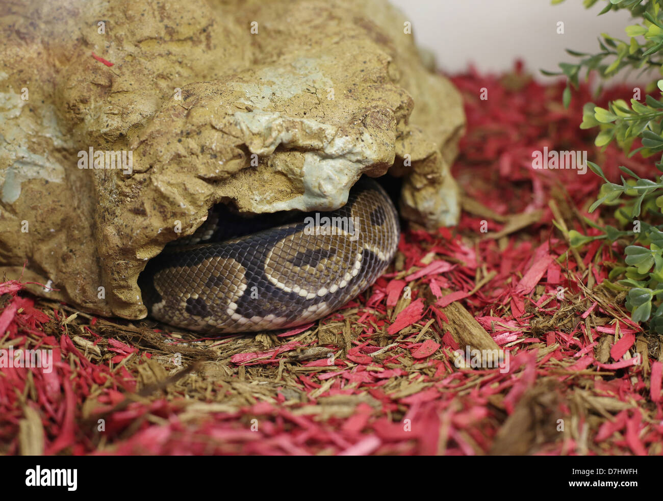 A captive snake in a rock hide. - Stock Image