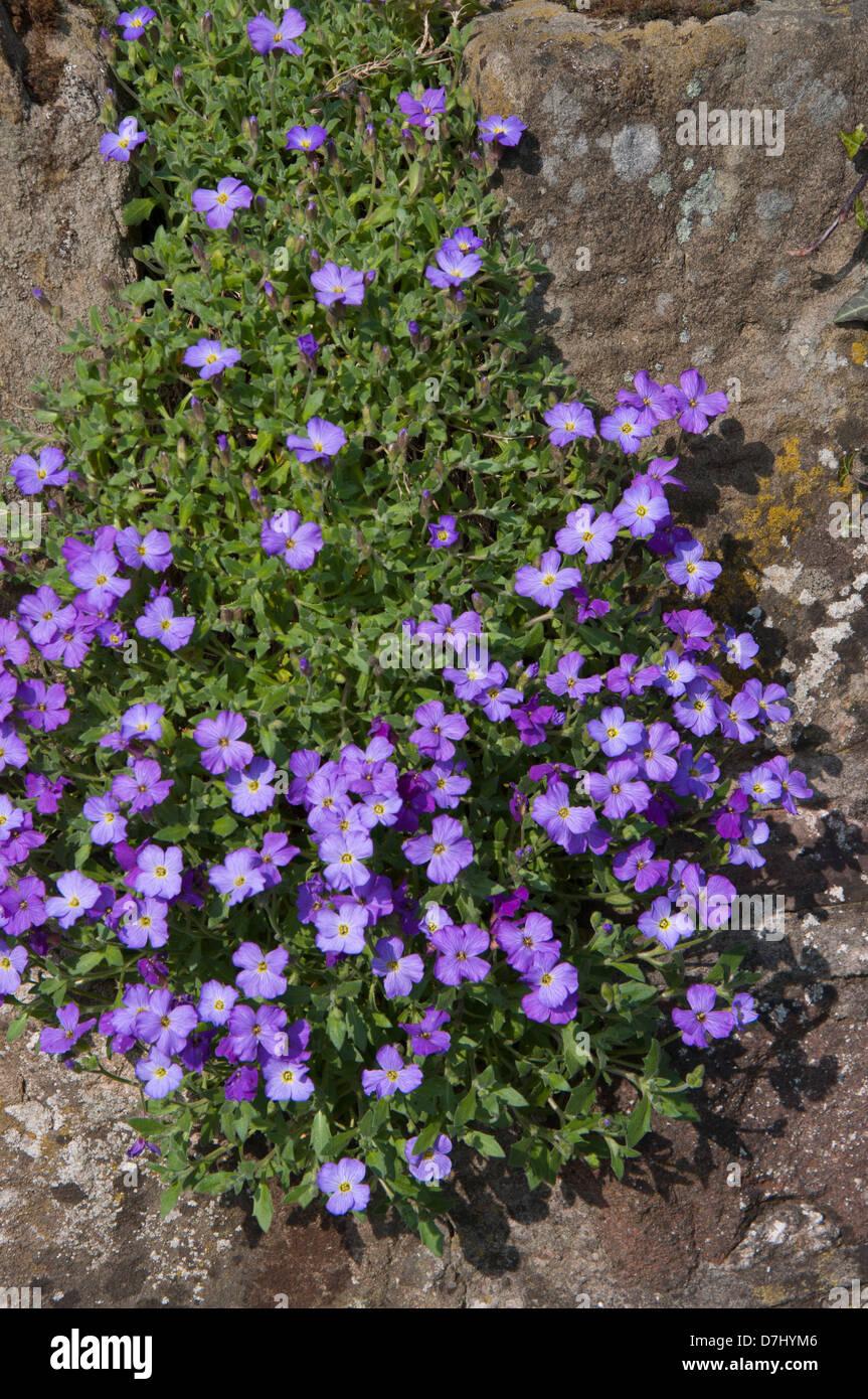 Aubretia Flowers Cascading Over Garden Wall Sunlit Purple