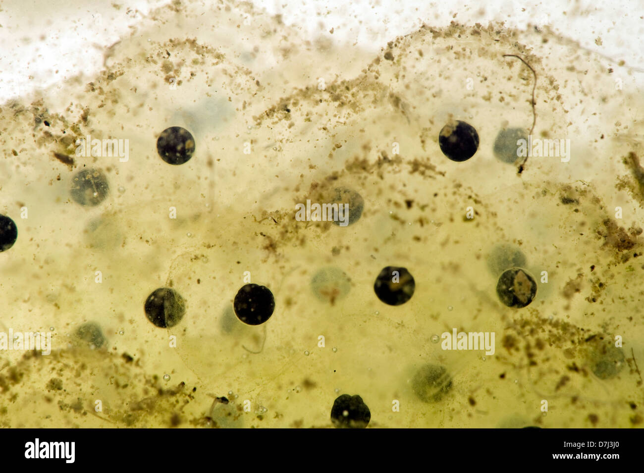 Frog spawn of a European frog, Rana temporaria, newly laid - Stock Image