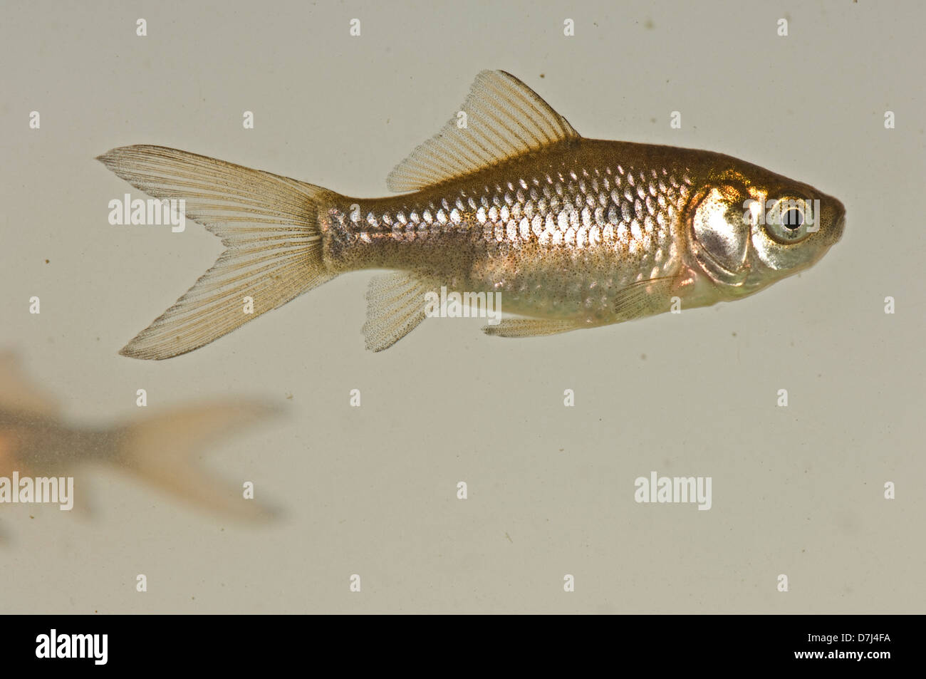 A young goldfish, Carassius auratus auratus, brown & silver colour but lacking the gold or orange of adult fish Stock Photo