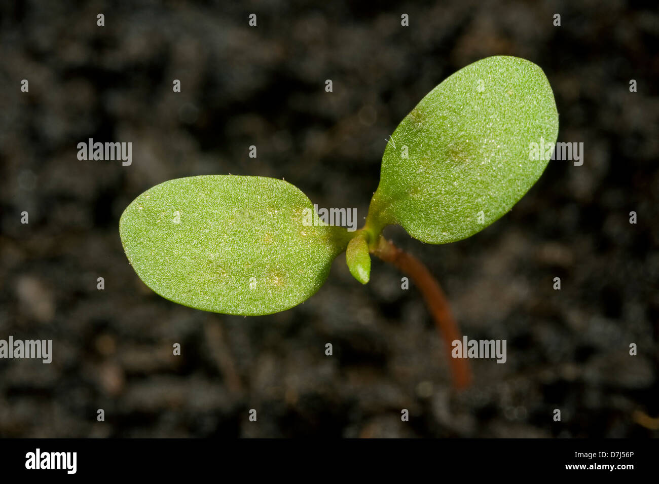 Redshank, Polygonum maculosa, seedling cotyledons only - Stock Image