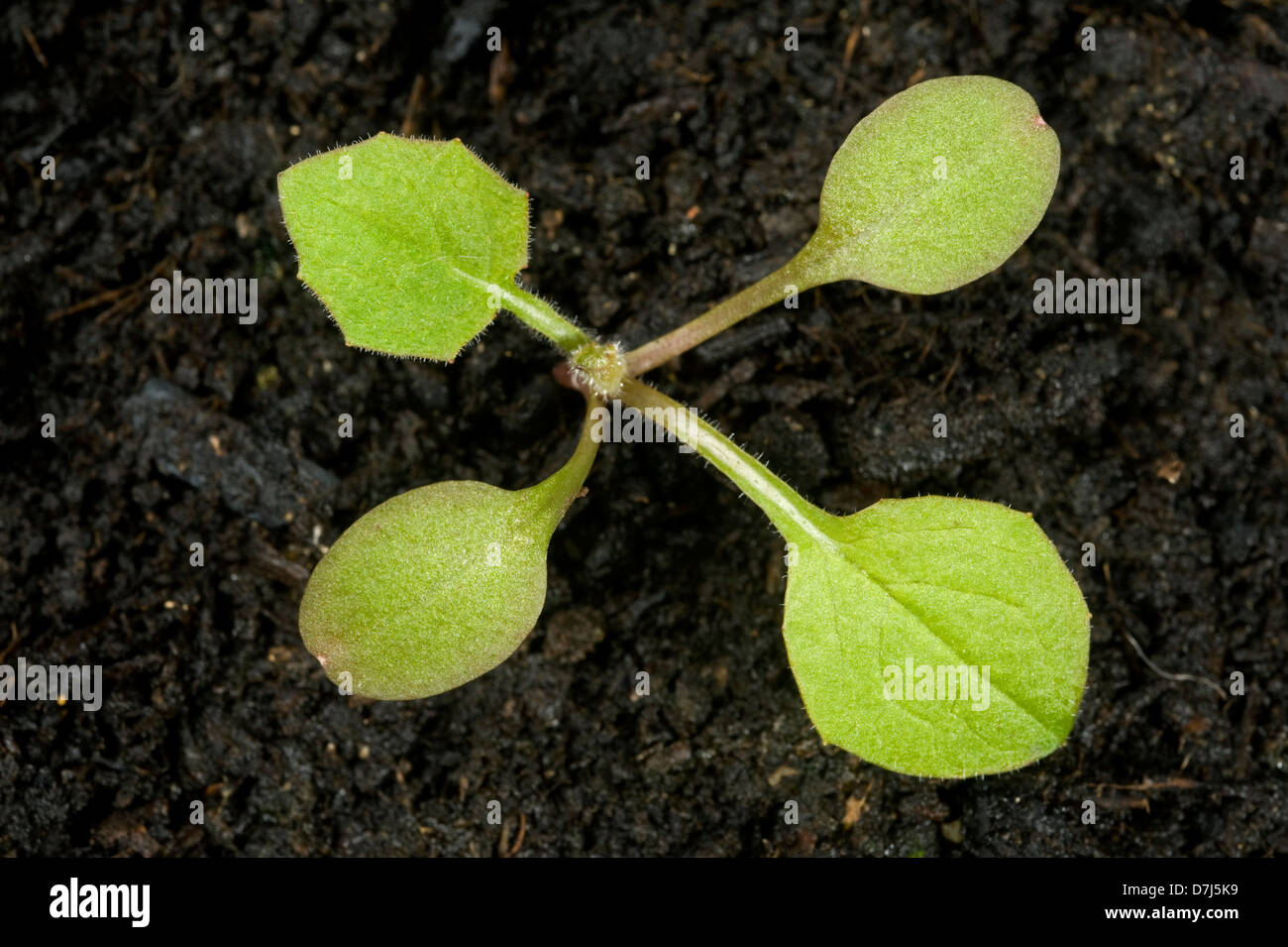 Nipplewort, Lapsana communis, seedling with one true leaf - Stock Image