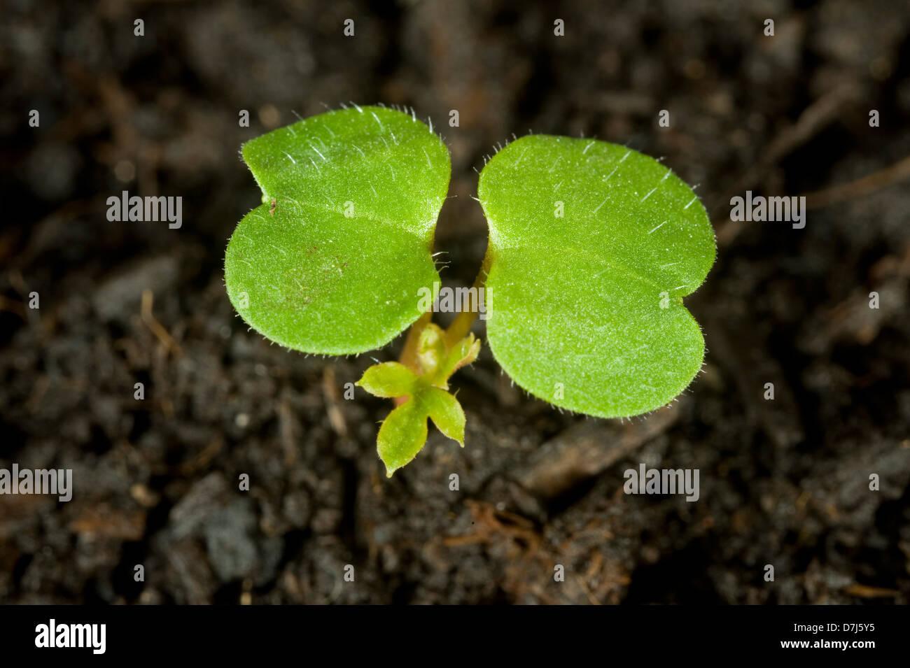 Herb robert, Geranium robertianum, seedling cotyledons - Stock Image