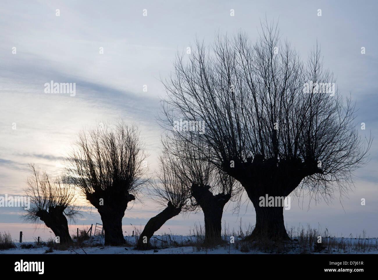 willows in national park 'de biesbosch' in Holland - Stock Image