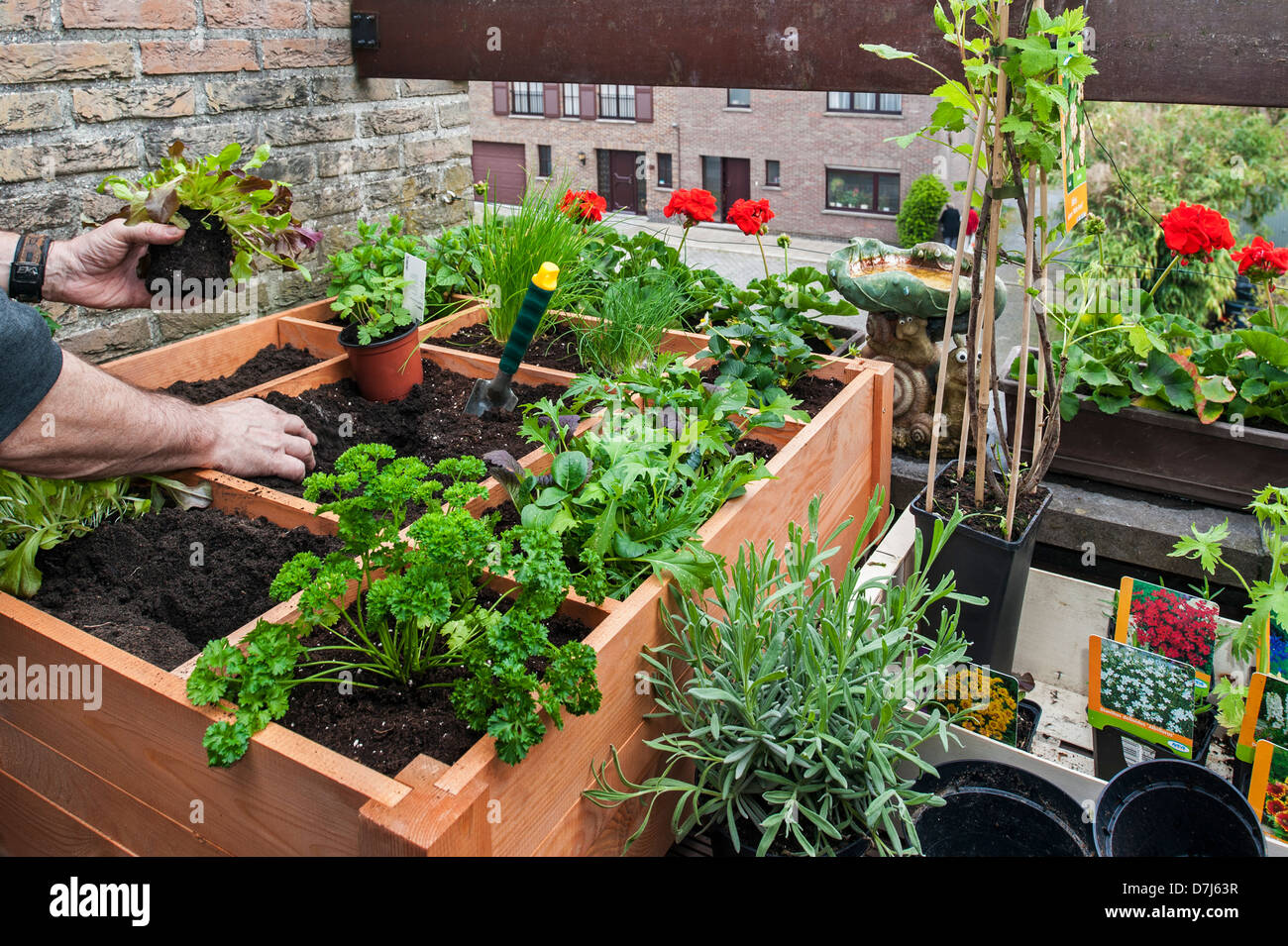 Square foot gardening by planting flowers, herbs and vegetables in wooden box on balcony - Stock Image