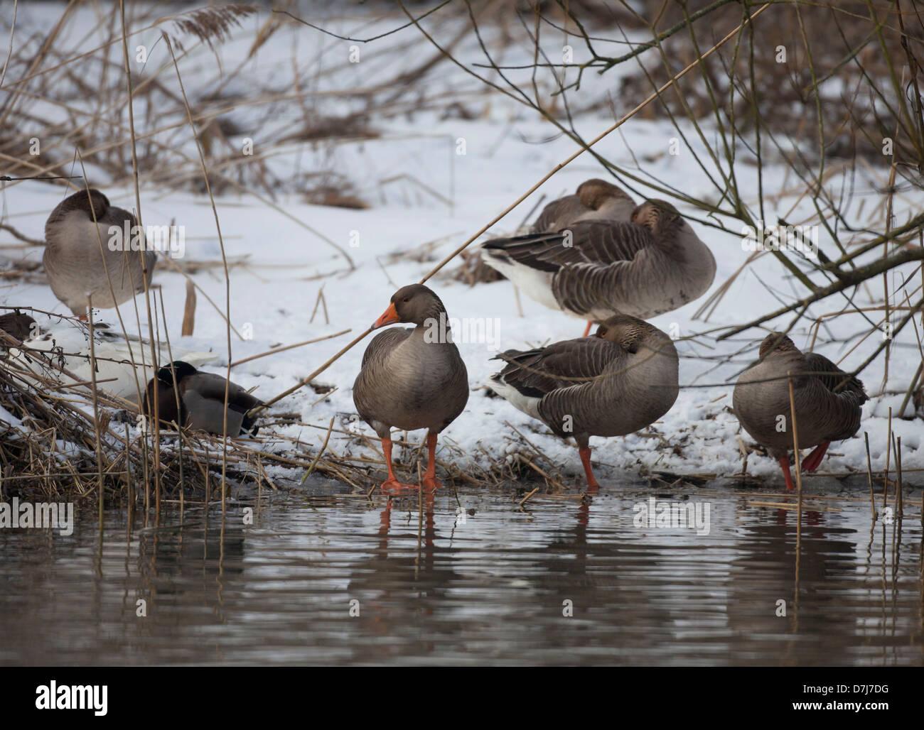 wildlife in natural park 'de biesbosch' in Holland - Stock Image