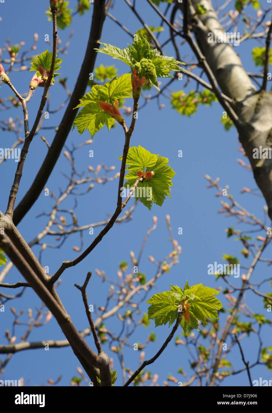 Fresh greens of bursting sycamore buds - Stock Image