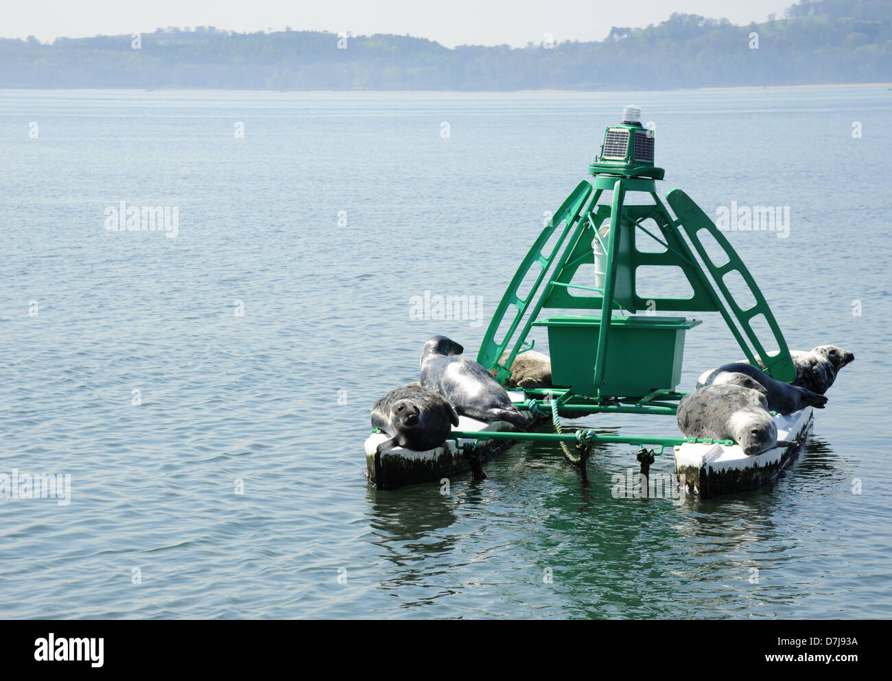 A navigation bouy on the Firth of Forth festooned with seals. - Stock Image