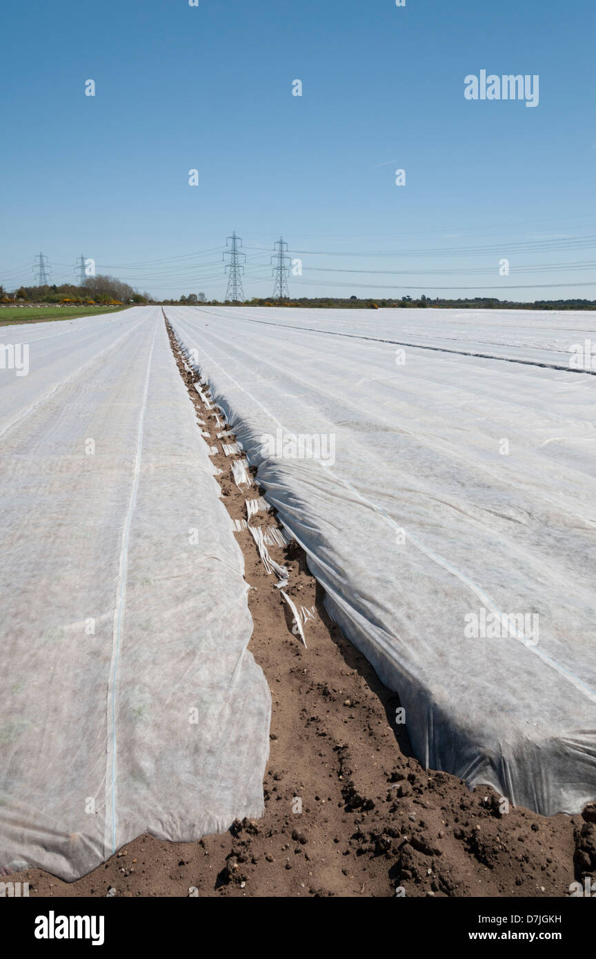 Agricultural fleece protecting crops from frost and pests on a farm in the Suffolk UK - Stock Image