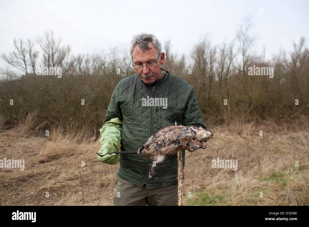 Dutch rat catcher in natural reserve. - Stock Image