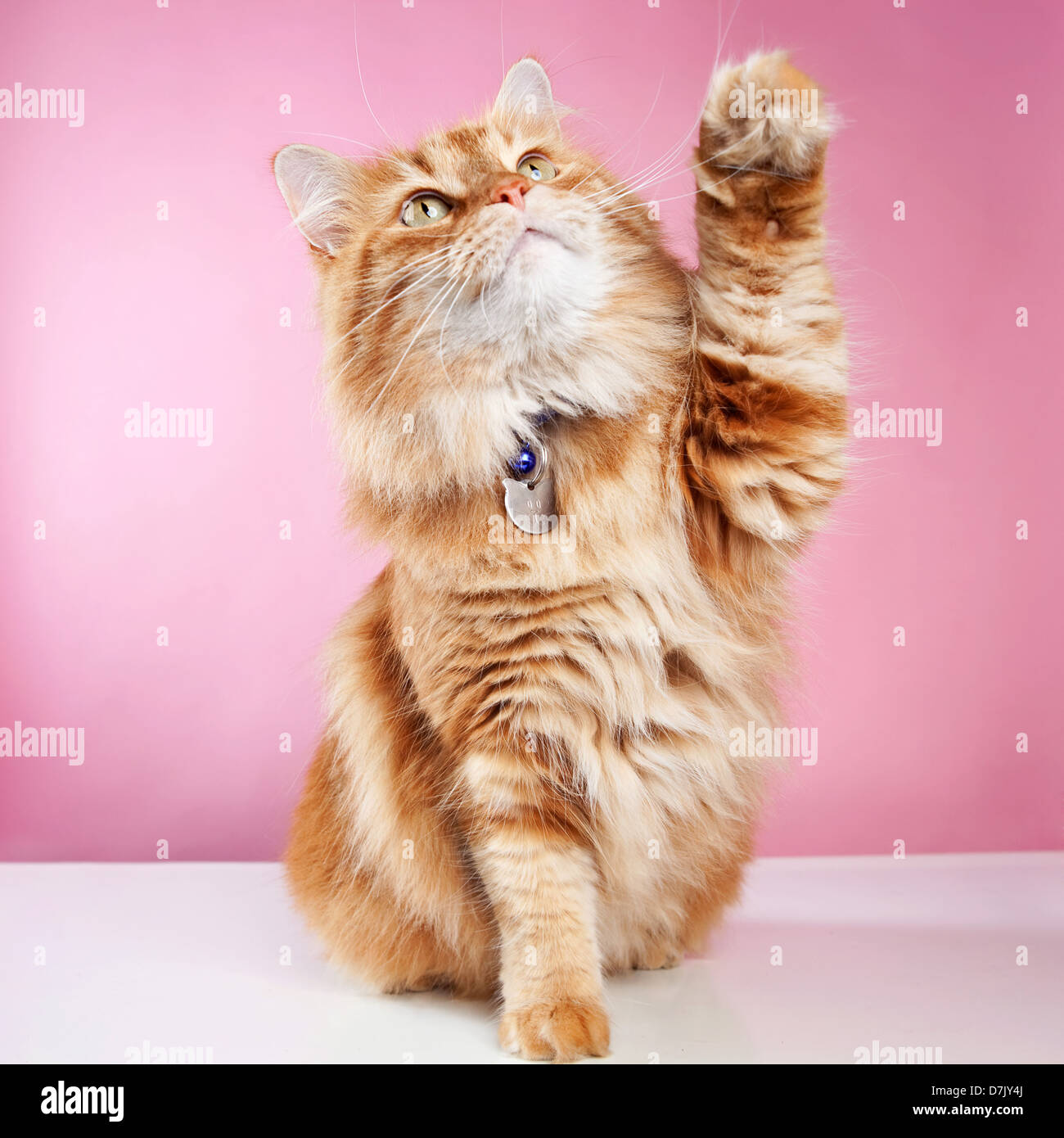 Fluffly ginger stripey manx  cat with name collar and paw raised against pink backdrop - Stock Image