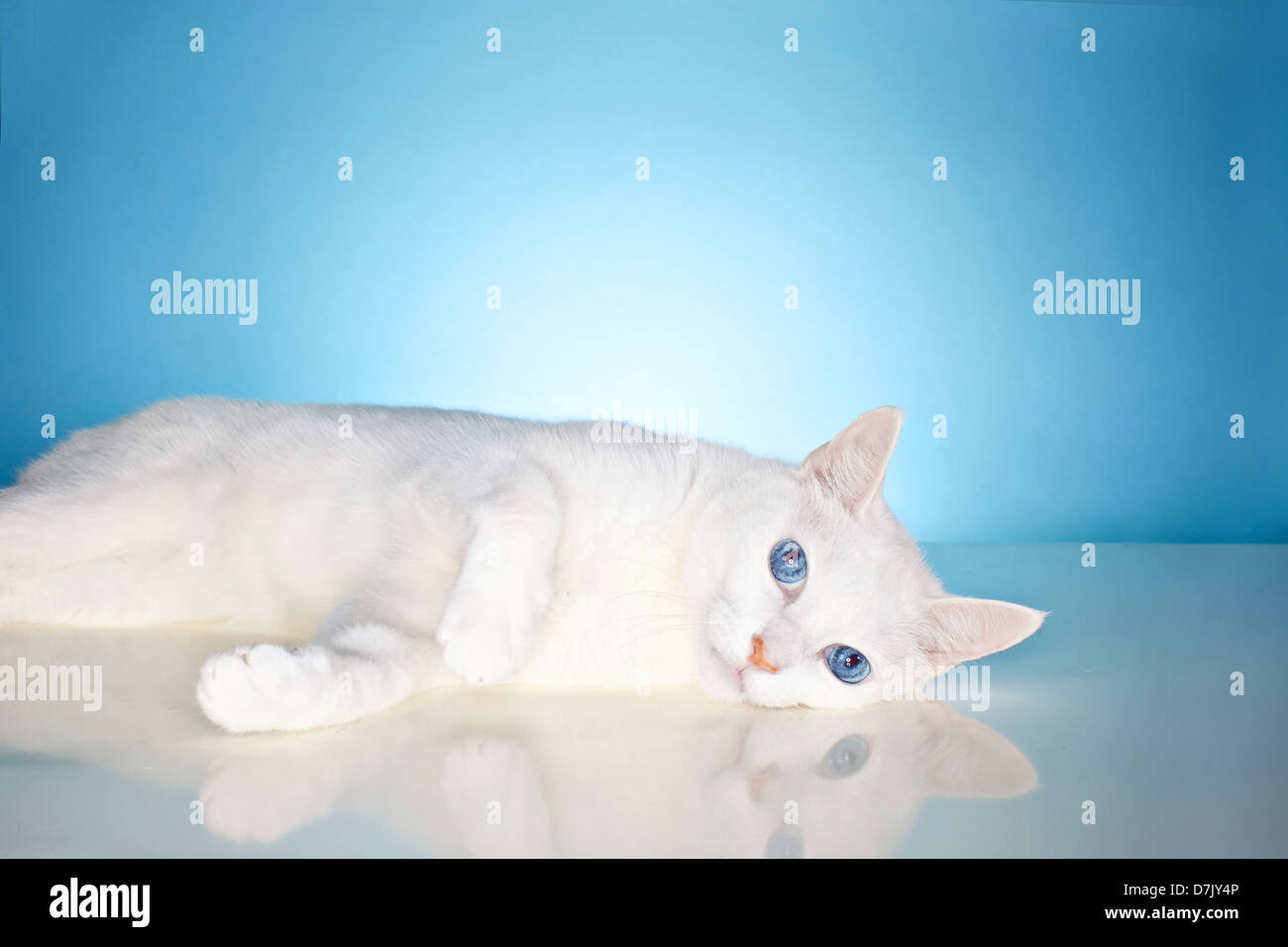 Gorgeous pure white cat with china blue eyes staring to camera against blue studio background - Stock Image