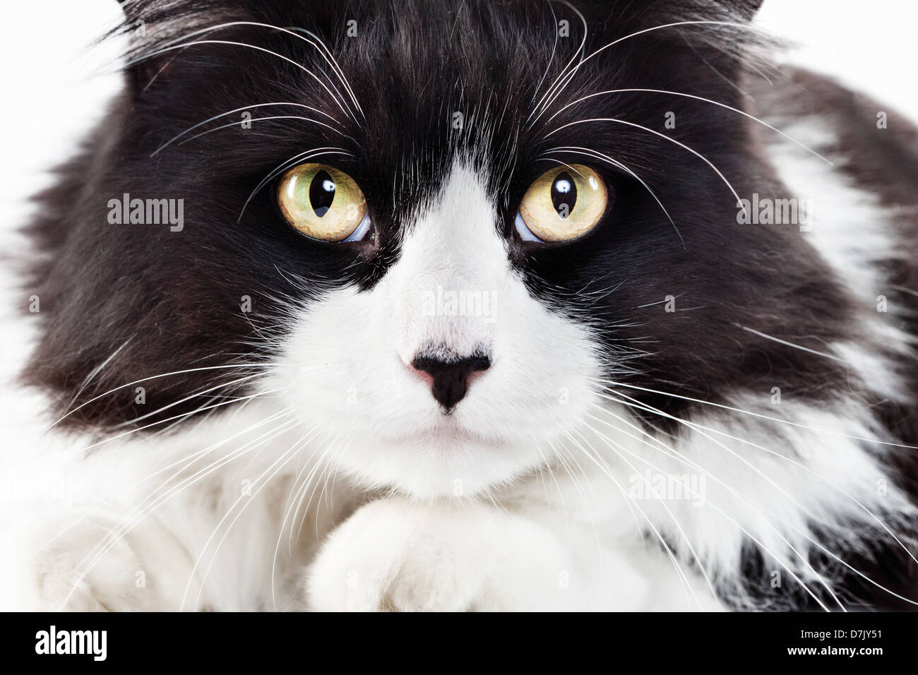 close up intense portrait of fluffly tuxedo cat staring directly and intently  to camera - Stock Image