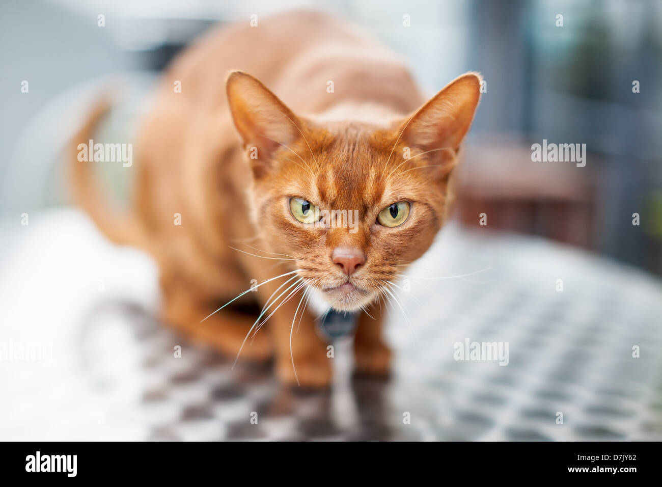 Crouched red Abyssinian cat on table with angry expression - Stock Image
