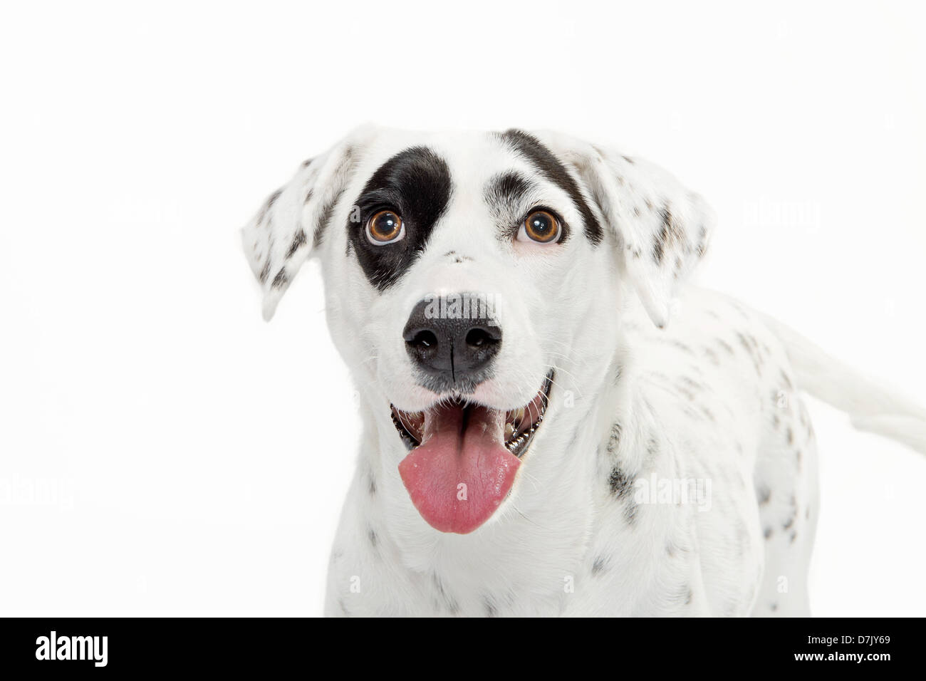 portrait of black and white spotted dalmatian staring close up to camera with black spot over eye against white Stock Photo