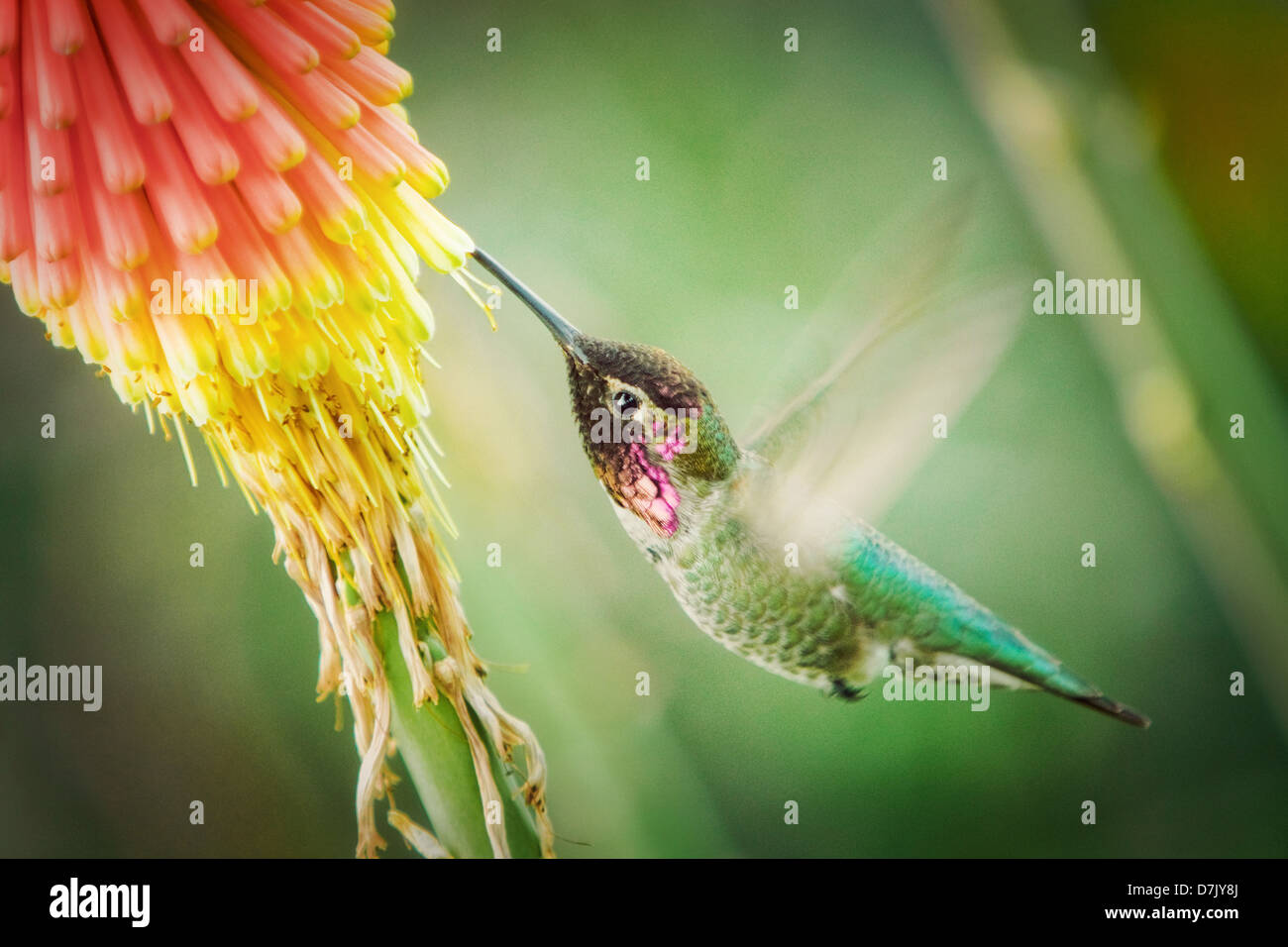 green pink hummingbird feeding on nectar from flower - Stock Image