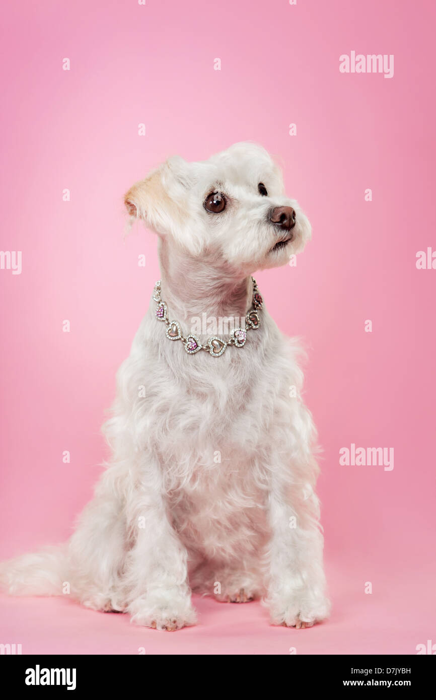 Maltese dog with silver necklace looking up against pink studio background. Stock Photo
