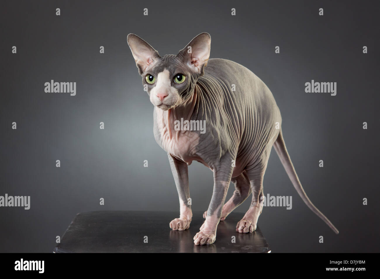Portrait of alert hairless pale gray Spinx cat standing posed in studio - Stock Image