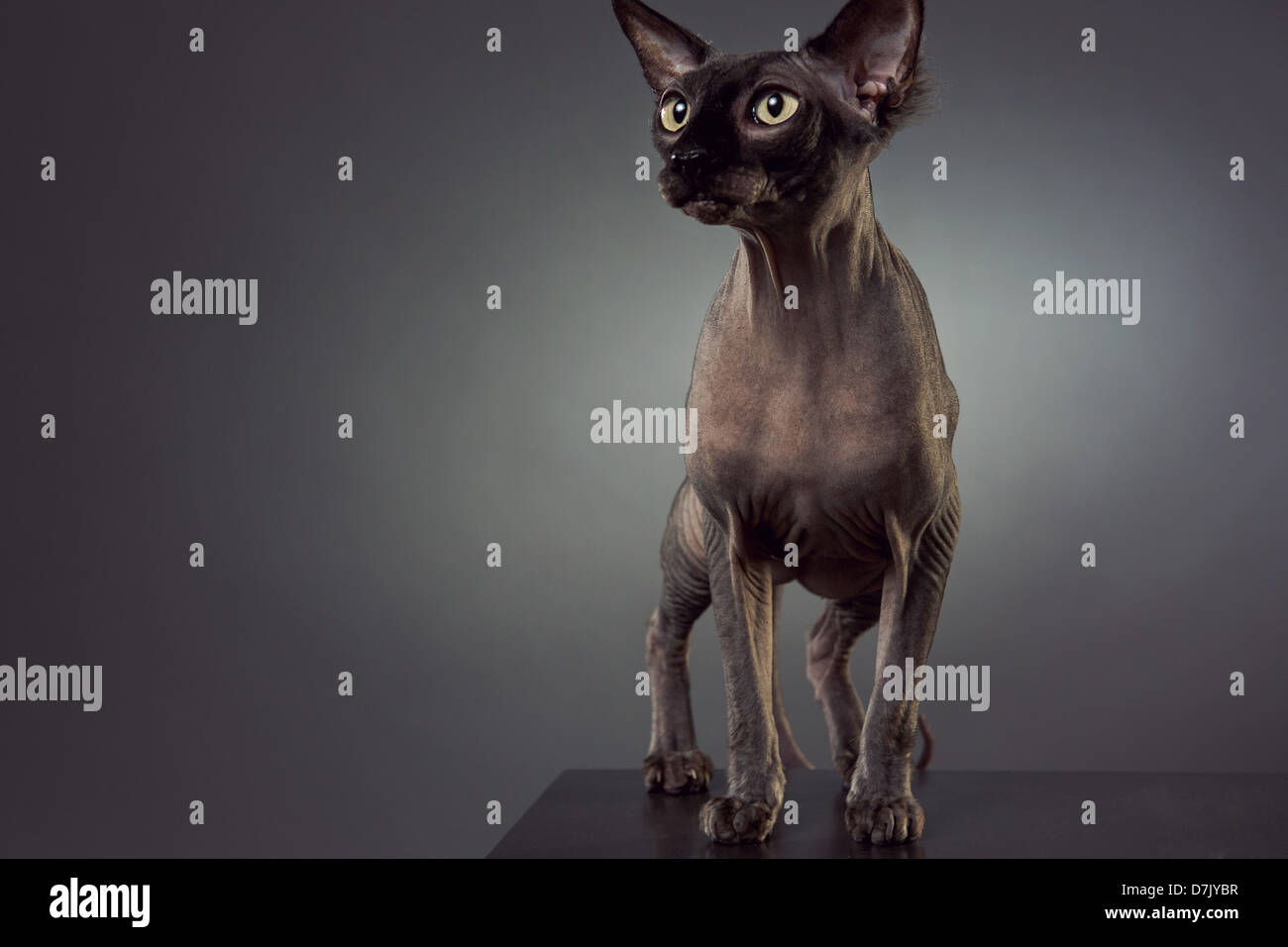 Portrait of hairless Sphinx cat in studio - Stock Image