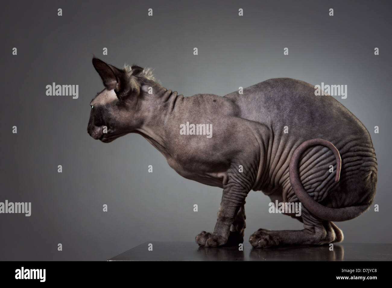 Side portrait of hairless Sphinx cat with tail coiled against gray background in studio - Stock Image