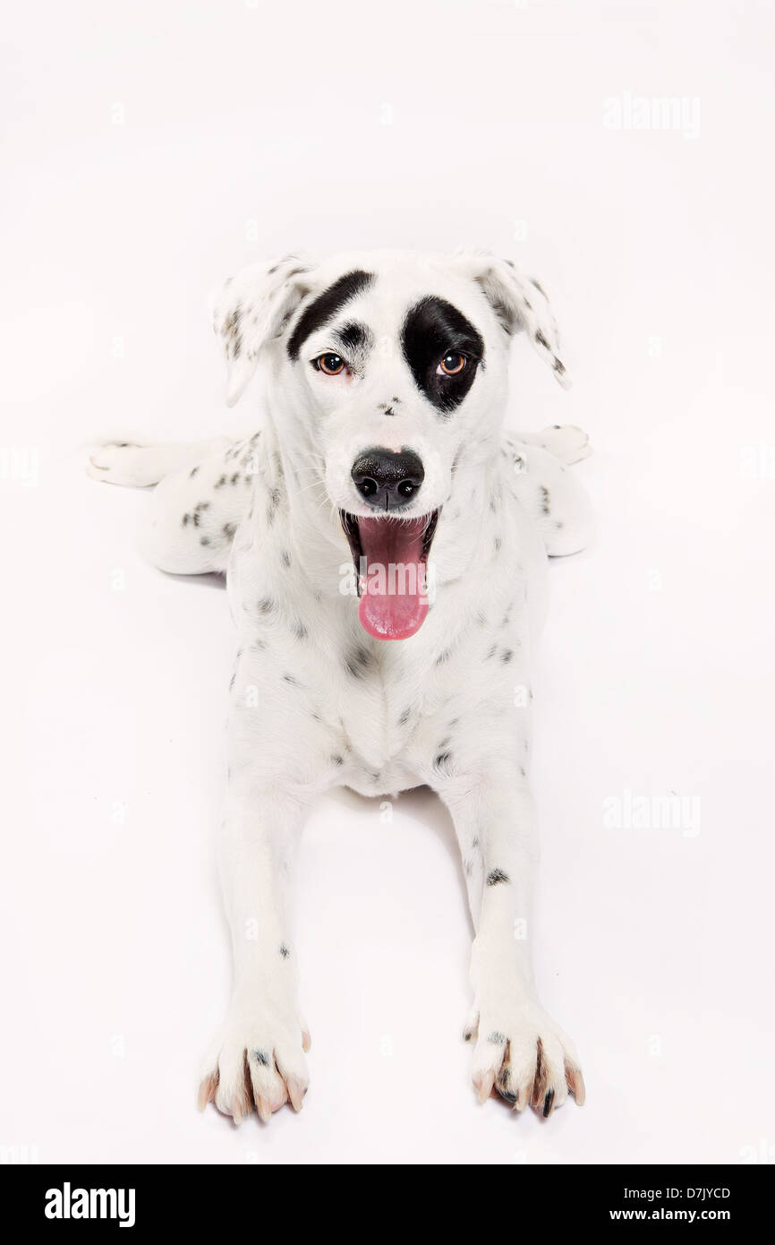 Studio portrait of dalamatian with tongue hanging out and black spot of over eye. - Stock Image