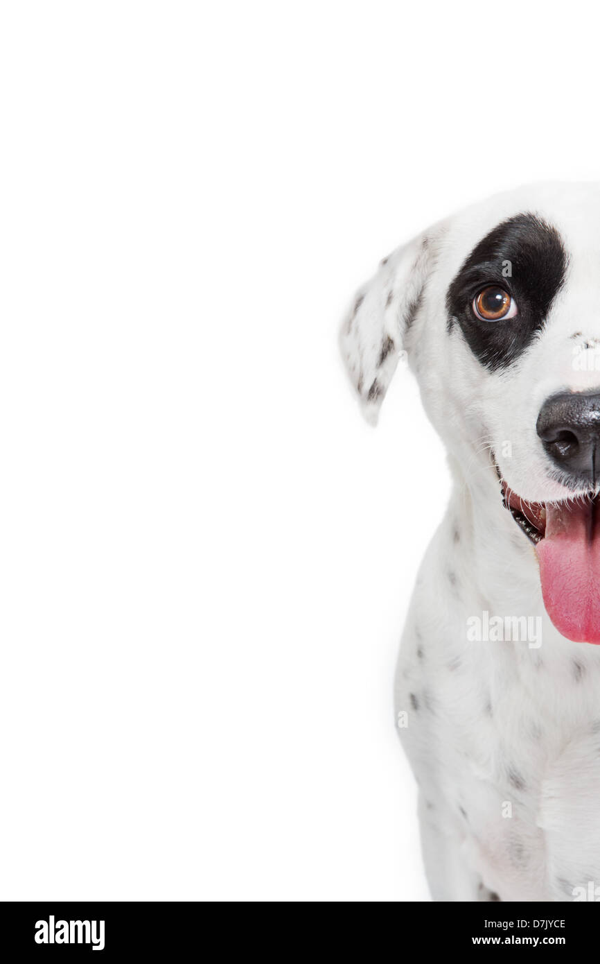 Closeup of dalmatian dog looking to camera with large black spot over eye. Stock Photo