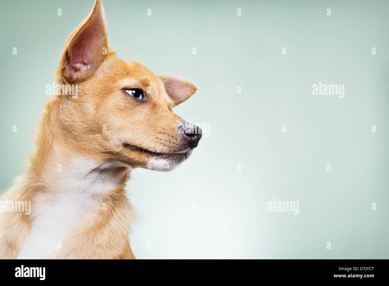 A portrait of Basenji mix breed Chihuahua in studio against green backdrop - Stock Image