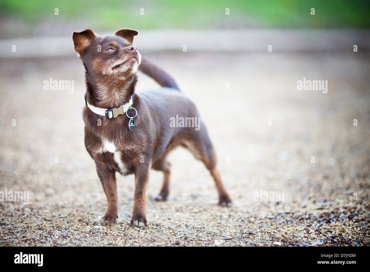 Brown chihuahua dog outdoors looking up - Stock Image