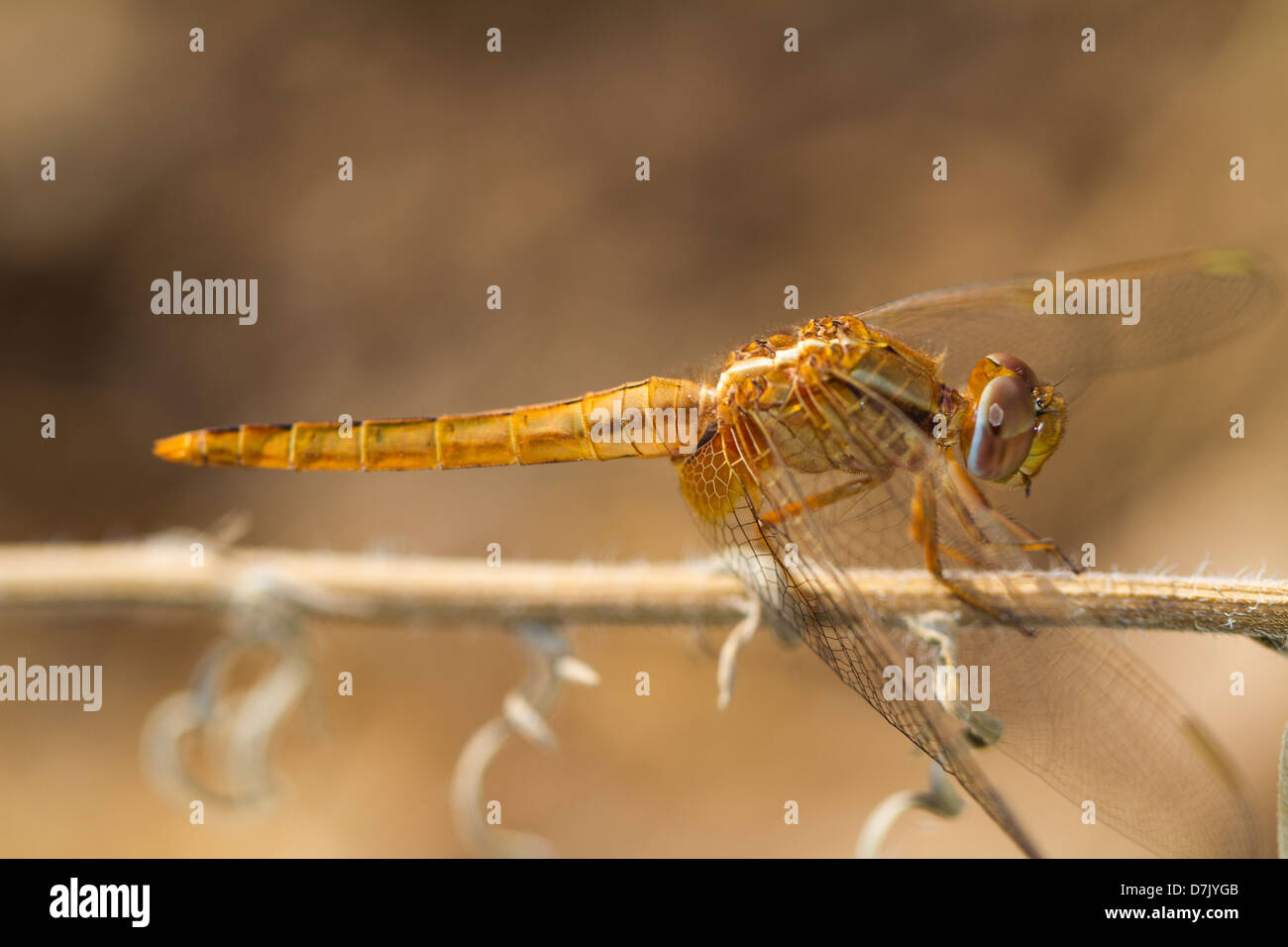 Close view detail of the beautiful Scarlet Darter (Crocothemis erythraea) dragonfly. Stock Photo